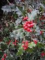 Ilex aquifolium Zagreb 240209.jpg