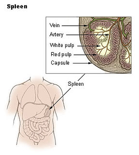 Spleen internal organ in most vertebrate animals