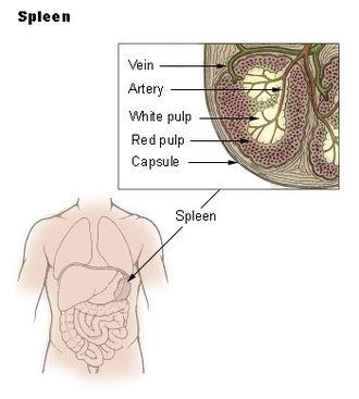 Traube's space - Spleen