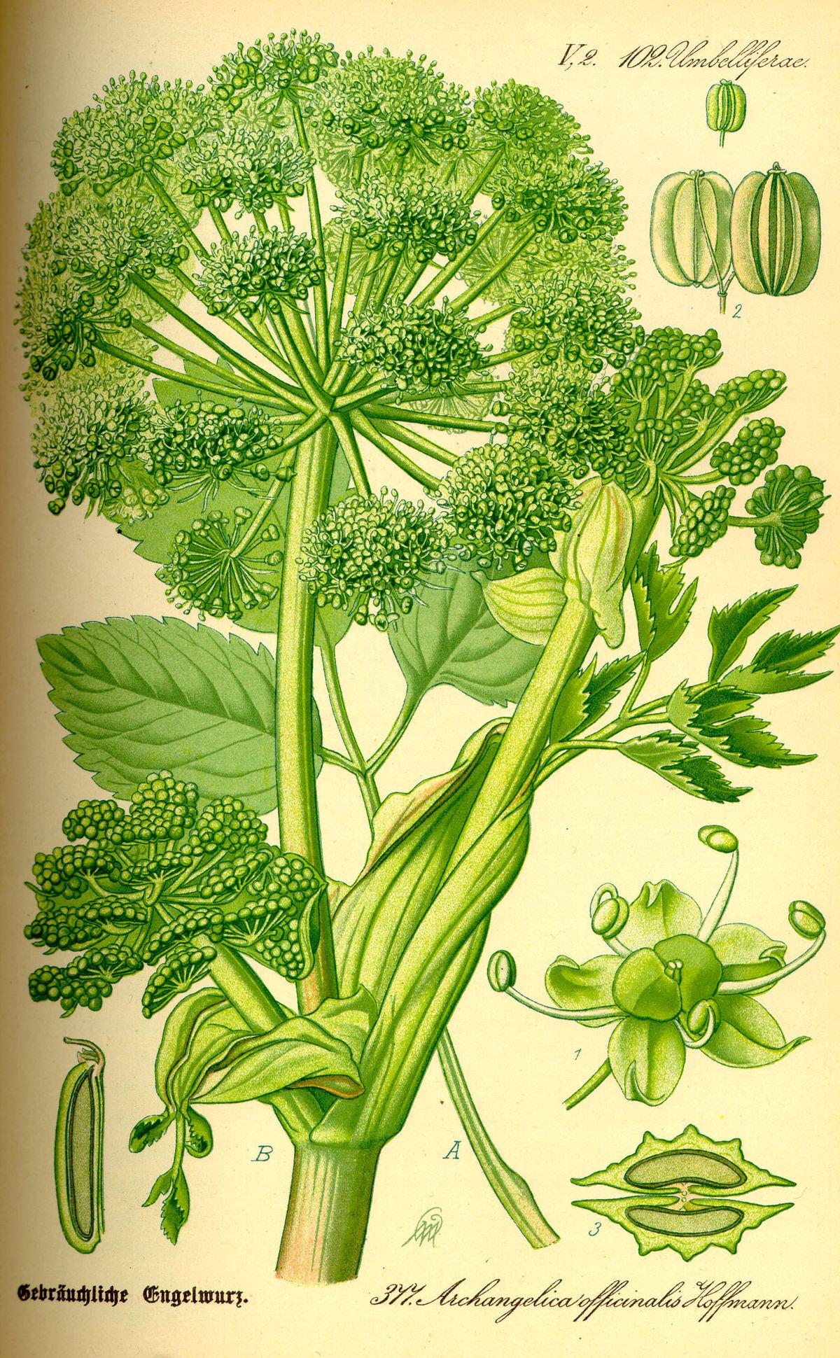 Illustration Angelica archangelica0.jpg