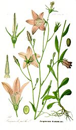 Illustration Campanula patula1.jpg