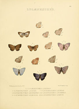 Illustrations of diurnal Lepidoptera 90.jpg