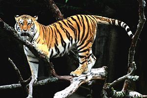 A tiger on a tree