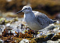 Immature Red Knot (2231604991).jpg