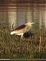 Indian Pond Heron (Ardeola grayii) (15891960711).jpg