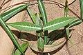 Indian sarsaparilla (Hemidesmus indicus ) 07598.jpg