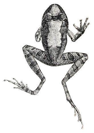 Indirana semipalmata - Illustration of I. semipalmata