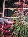 Indoor hybrid medical cannabis Gro3.jpg