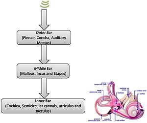 Neuronal encoding of sound - Flowchart of sound passage - inner ear