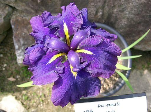Iris ensata var ensata3