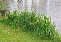 Iris pseudacorus R01.jpg