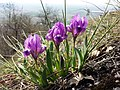 Iris pumila sl28.jpg