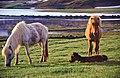 Islandstuten mit Fohlen, Nähe Akureyri.jpg