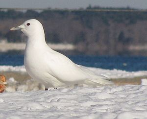 Ivory (color) - Ivory gull