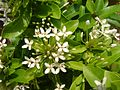 Ixora coccinia with white flowers, small.jpg