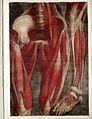 J.F. Gautier D'Agoty, Myologie complette en coleur... Wellcome L0023743.jpg