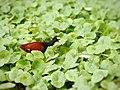 Jacana spinosa (foraging).jpg