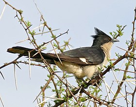 Jacobin Cuckoo (Clamator jacobinus) (16663503112) (cropped).jpg