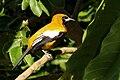 Jamaican oriole (Icterus leucopteryx leucopteryx).jpg