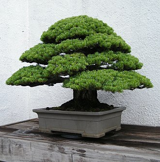 History of bonsai - White pine bonsai cultivated from 1855 (National Bonsai & Penjing Museum)