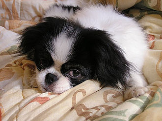 Japanese Chin - A six-month-old Japanese Chin