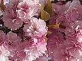 Japanische Blütenkirsche - panoramio.jpg