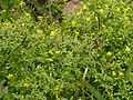 Jasminum fruticans - Flickr - peganum.jpg