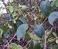 Jasminum malabaricum 10.JPG