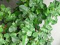 Jasminum sambac1.jpg