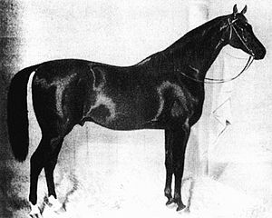 Celle State Stud - The Pomeranian-bred Jellachich stood at Celle from 1850 until his death in 1866. Celle frequently purchased stallions from Mecklenburg and Vorpommern throughout much of the stud's history.