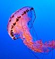 Jellyfish, Monterey Aquarium, California (44746842474).jpg