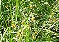 Jewelweed, Lulle Brook - geograph.org.uk - 1605367.jpg