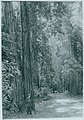 John Muir at Muir Woods, California.jpg