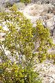 Joshua Tree National Park - Larrea tridentata - 4.JPG