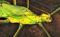 Jungle Nymph (Heteropteryx dilatata) (8755484126).jpg