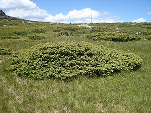 Juniperus communis - Prostrate specimens of Juniperus communis subsp. alpina, in Vitosha, Bulgaria