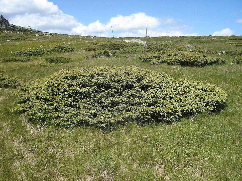 JuniperusCommunisAlpina
