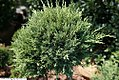 Juniperus chinensis Hetzii Glauca 2zz.jpg