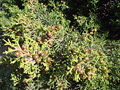 Juniperus phoenicia turbinata.JPG