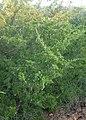 Juniperus virginiana kz04.jpg
