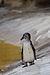 Juvenile Humboldt Penguin (zoo de Vincennes).jpg