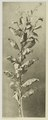 KITLV - 26867 - Kleingrothe, C.J. - Medan - Tobacco plant, Deli - circa 1905.tif