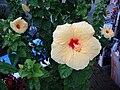 Kailua Yellow Hibiscus 18cm.JPG