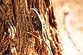 Kalahari tree skink, Kalahari boomskink (Trachylepis spilogaster)-1574 - Flickr - Ragnhild & Neil Crawford.jpg