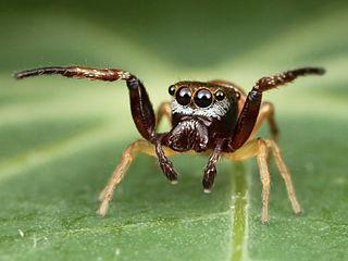<i>Zygoballus</i> genus of arachnids