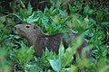 Kapybara2.jpg