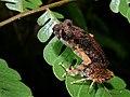 Kinabalu Slender Litter Frog (Leptolalax arayai) (7753004094).jpg
