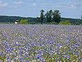 Kindelwald - Feld mit Kornblumen (Cornflower Field) - geo.hlipp.de - 39573.jpg