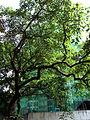 King's College garden green 2 無花果 Fig Tree HK May-2012 a.jpg
