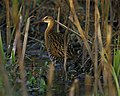 King Rail at Clarence Cannon National Wildlife Refuge (4730663723).jpg